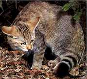 African wildcat - picture from Big Cats online