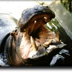 The hippo's yawn is a threat gesture