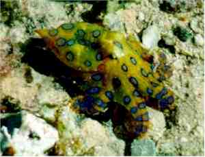 The blue-ringed octopus - just look, don't touch!
